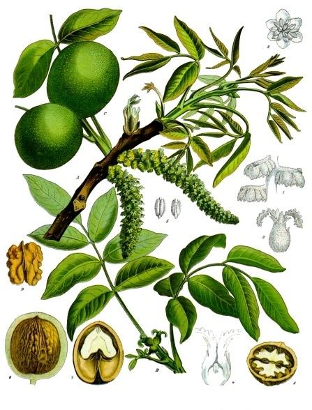 Ботаническая иллюстрация грецкого ореха