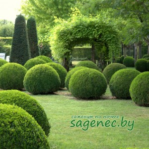Самшит вечнозелёный | Купить саженцы в Беларуси