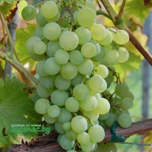 Виноград Краса Севера, купить по почте