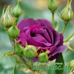 Роза SuperDorothy, купить по почте