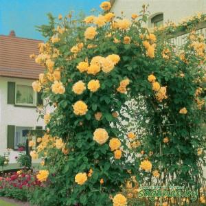 Роза GoldFassade, купить по почте