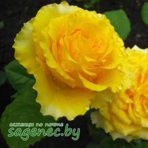 Роза Злато, купить по почте