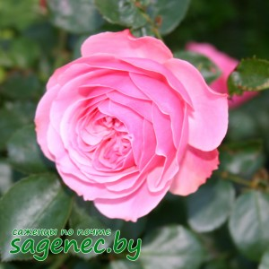Роза Feuerwerk, купить по почте