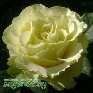 Роза Limbo, купить по почте