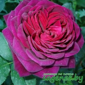 Роза AstridGrafin, купить по почте