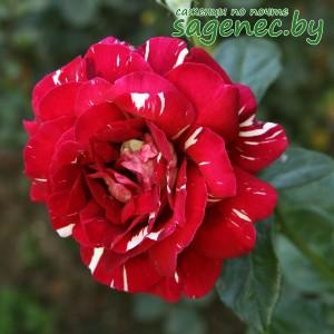 Роза ПёстраяФантазия, купить по почте