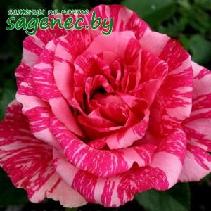 Роза PinkIntuition, купить по почте