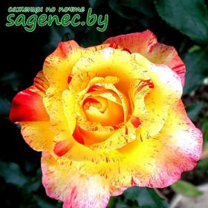 Роза Камила, купить по почте