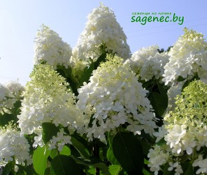 Гортензия Grandiflora | Купить саженцы в Беларуси