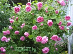 Роза LouiseOdier   Купить саженцы в Беларуси