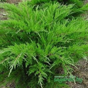 Можжевельник Tamariscifolia, купить по почте