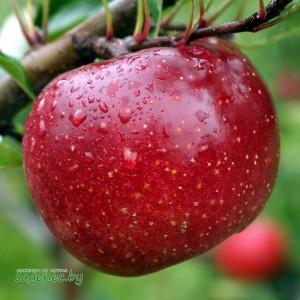 Яблоня RedFree , купить по почте