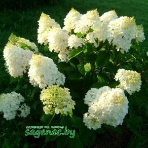 Гортензия Grandiflora, купить по почте