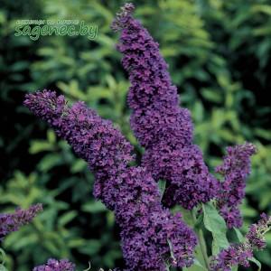 Буддлея Давида PurpleEmperor, купить по почте