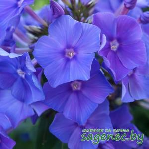 Флокс BlueParadise | Купить саженцы в Беларуси