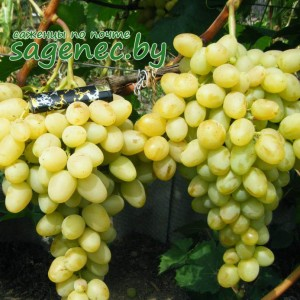 Виноград Аркадия, купить по почте