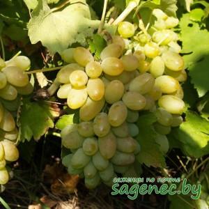Виноград Тимур, купить по почте