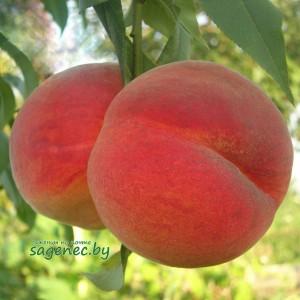Персик Майскийцветок, купить по почте