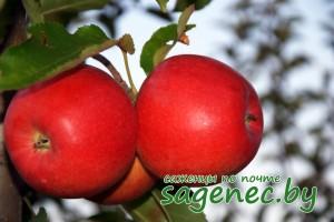 Яблоня Лучезарная | Купить саженцы в Беларуси