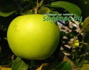 Яблоня Каштеля | Купить саженцы в Беларуси