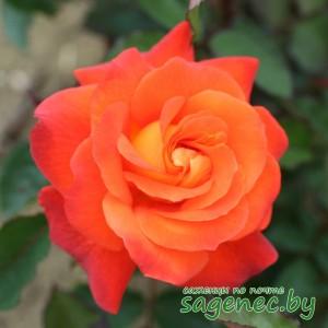 Роза HighMagic