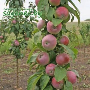 Яблоня колоновидная Валюта, купить по почте