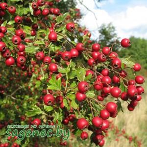 Боярышник Крупноплодный   Купить саженцы в Беларуси