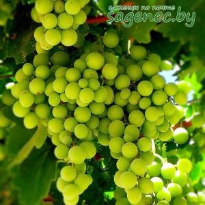 Виноград АгатДонской | Купить саженцы в Беларуси