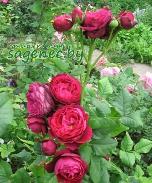 Роза AstridGrafin | Купить саженцы в Беларуси