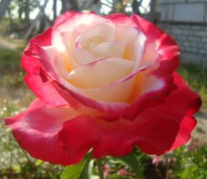 Роза BellaVita | Купить саженцы в Беларуси