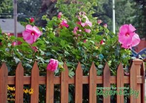 Гибискус Розовый | Купить саженцы в Беларуси