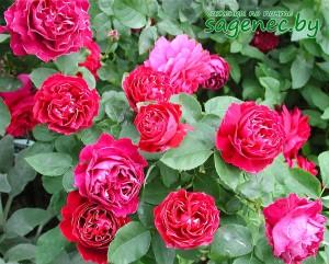 Роза RoyalMondain | Купить саженцы в Беларуси