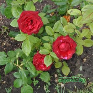 Роза Robysta | Купить саженцы в Беларуси