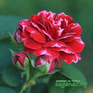 Роза RoyalMondain, купить по почте