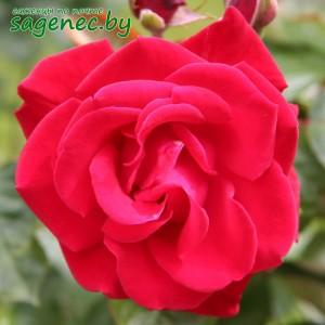 Роза GrandHotel, купить по почте