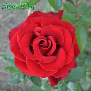 Роза GrandeAmore, купить по почте