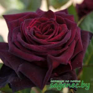 Роза BlackBaccara, купить по почте