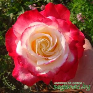 Роза BellaVita, купить по почте
