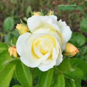 Роза Chopin, купить по почте