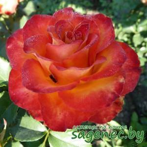 Роза Sultane, купить по почте