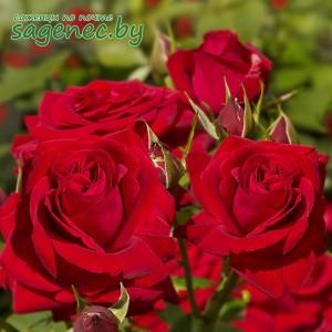 Роза SophiaLoren, купить по почте
