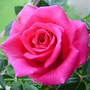 Роза Saint-Exupery, купить по почте