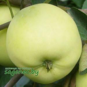 Яблоня Белыйналив, купить по почте