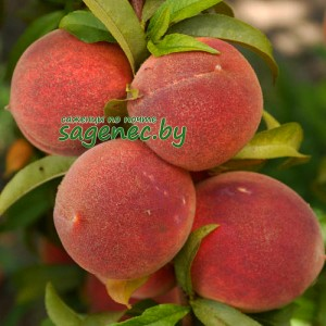 Персик колоновидный Сувенир, купить по почте