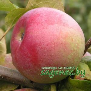 Яблоня Белорусскоесладкое, купить по почте