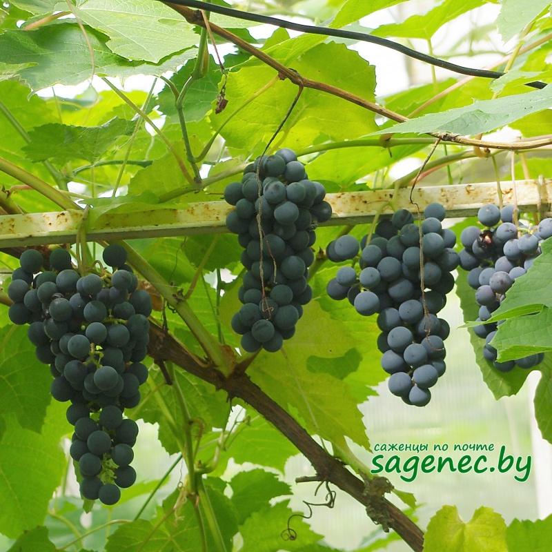 Виноград АгатДонской   Саженцы почтой
