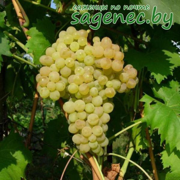 Виноград Кишмиш №342 | Саженцы почтой