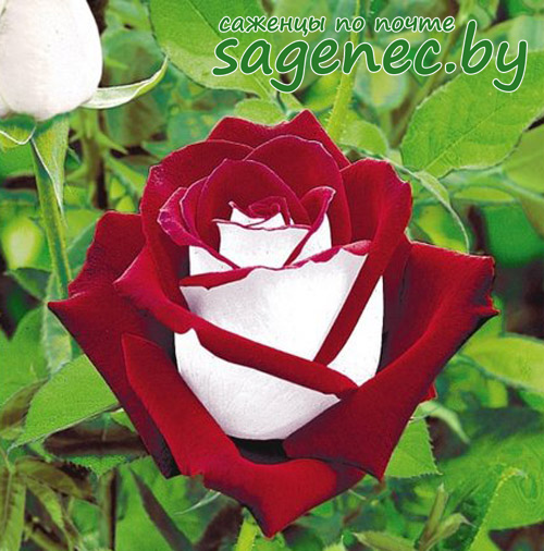 Роза Osiria | Саженцы почтой