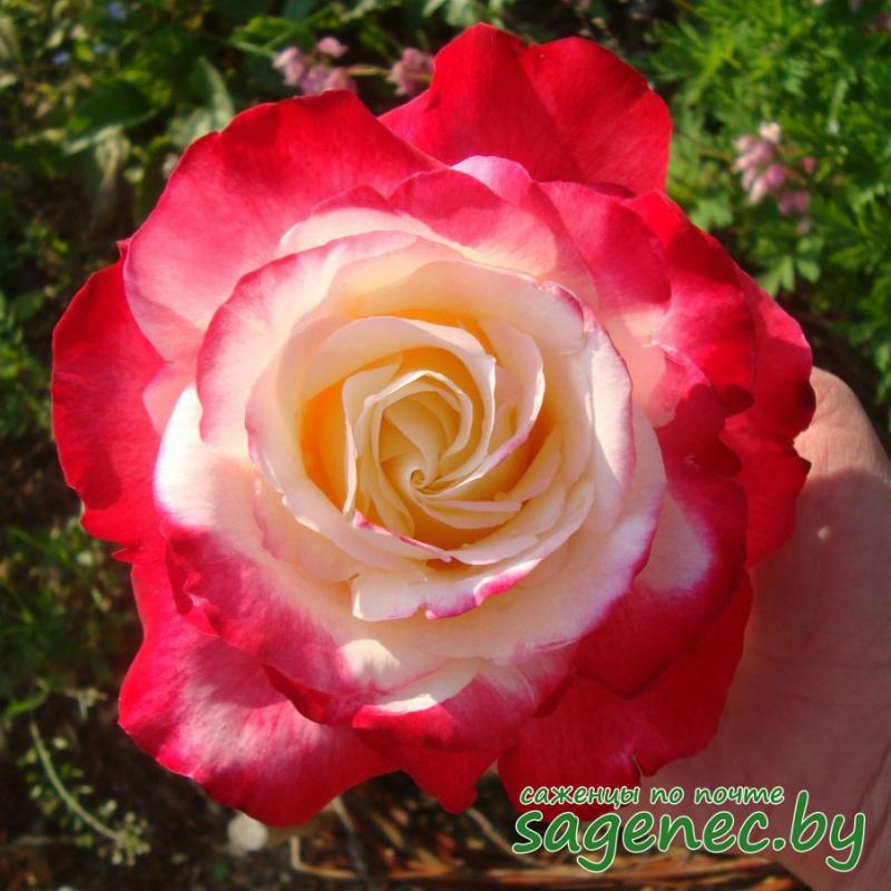 Роза BellaVita | Саженцы почтой