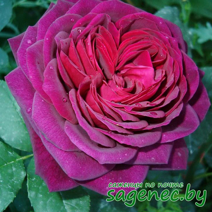 Розы купить по почте символический подарок мужчине день рождения
